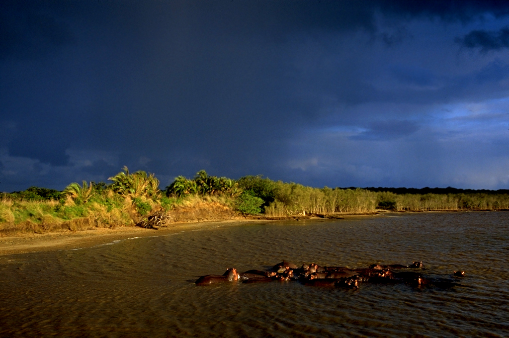 Hippos - St. Lucia, South Africa
