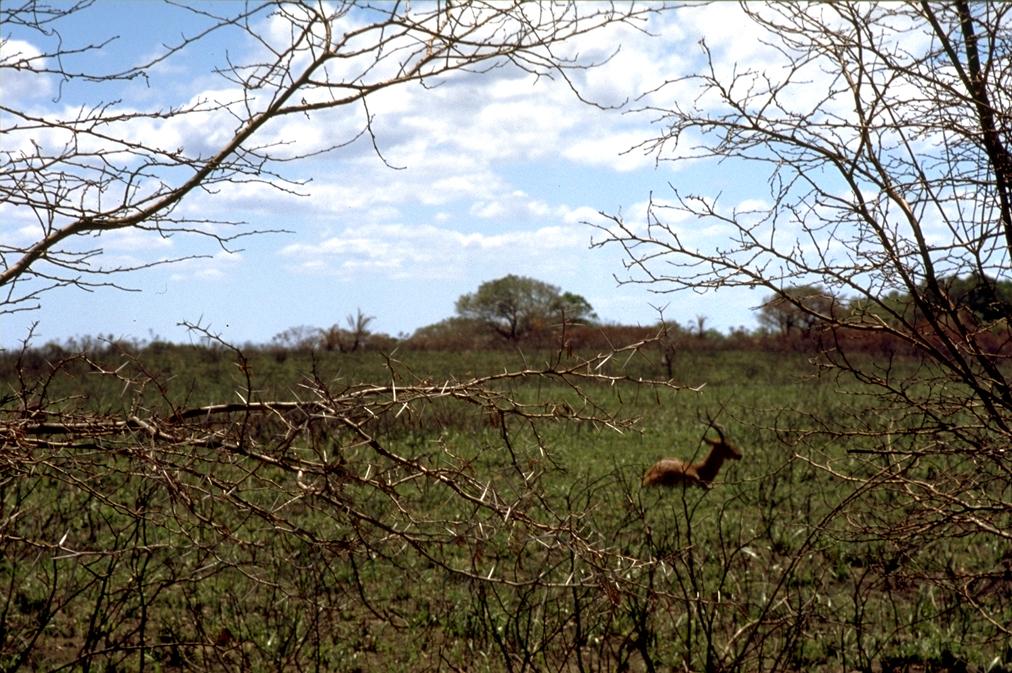 Deer - Cape Vidal, South Africa