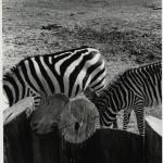 Zebras - Goodyear, Arizona