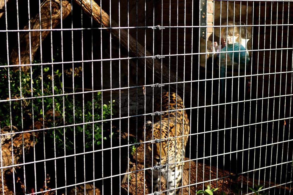 Leopard - Denver, Colorado
